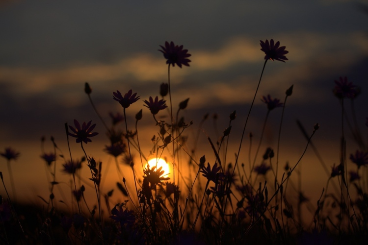 wildflowers with a sunset in the distance
