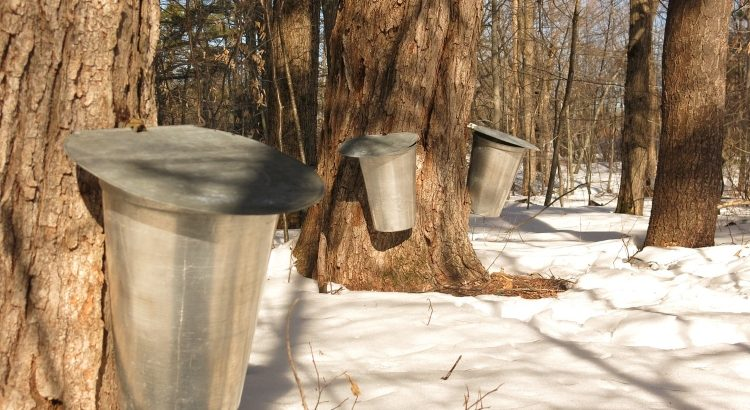 Traditional sap collection at a Quinte Area Sugar Bush