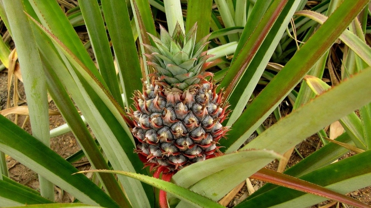 A pineapple at Croydon in the Mountains, an often overlooked attraction near Montego Bay